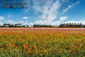 Flower Fields - Carlsbad, California